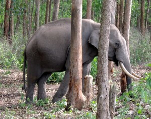 Pic: Elephant in the Muthanga Wildlife Sanctuary