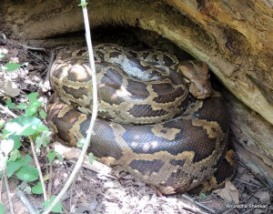 Pic: The best sighting of the trip – an Indian Rock Python incubating its eggs, seen near Kuruva Island