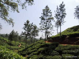 Pic: Tea Plantations