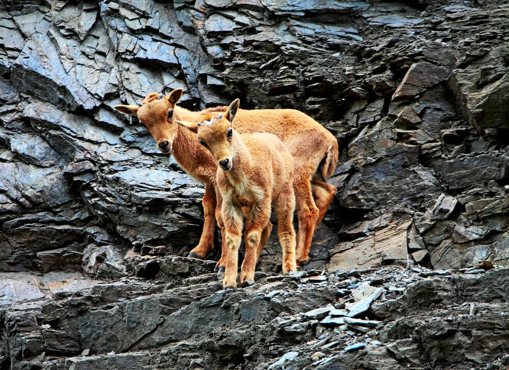 Barbary sheep at Himalayan Zoo
