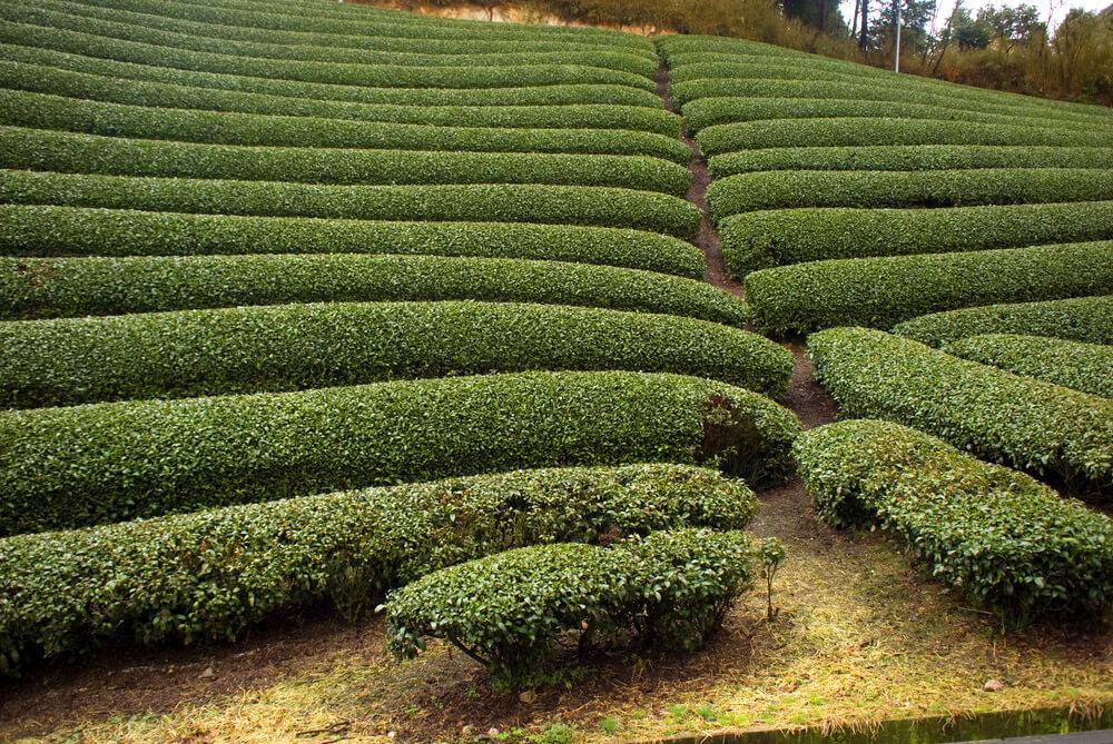 Tea Garden - Ooty