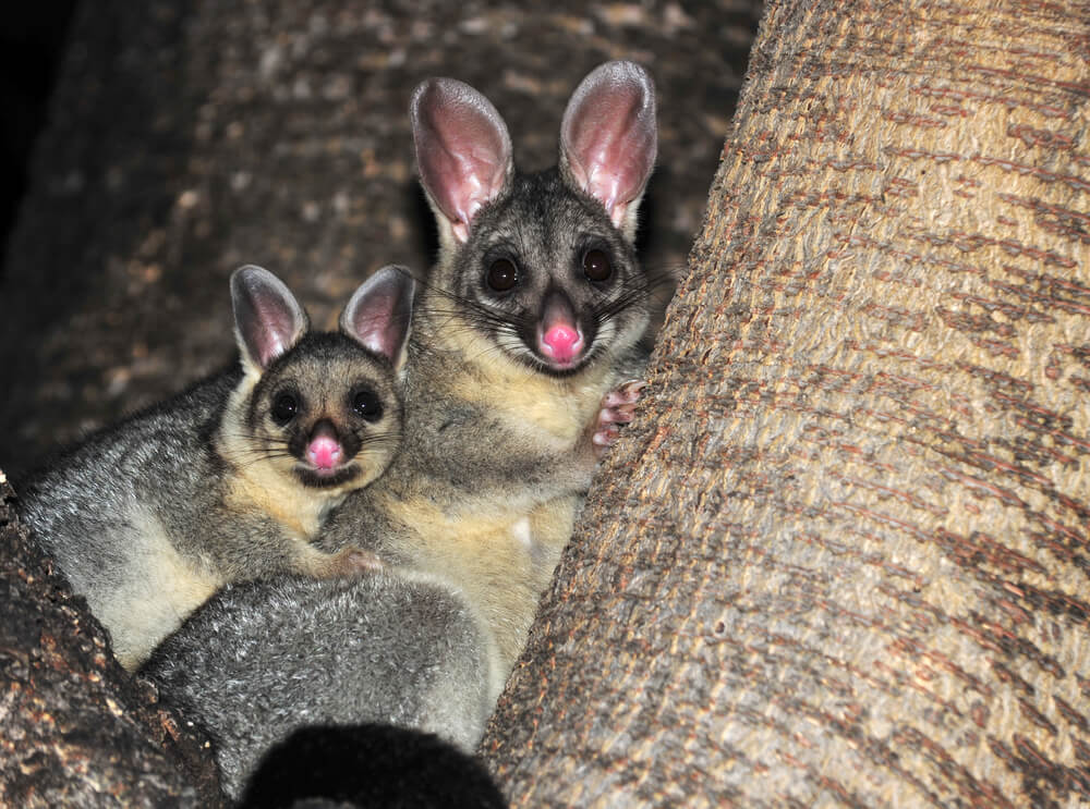 Australian common brush tailed possum with baby, Townsville