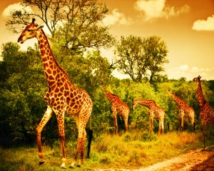 South African Giraffes - Nature Parks in Africa