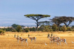 African landscape with gazelles
