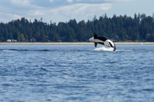 Orca jumps out of the sea