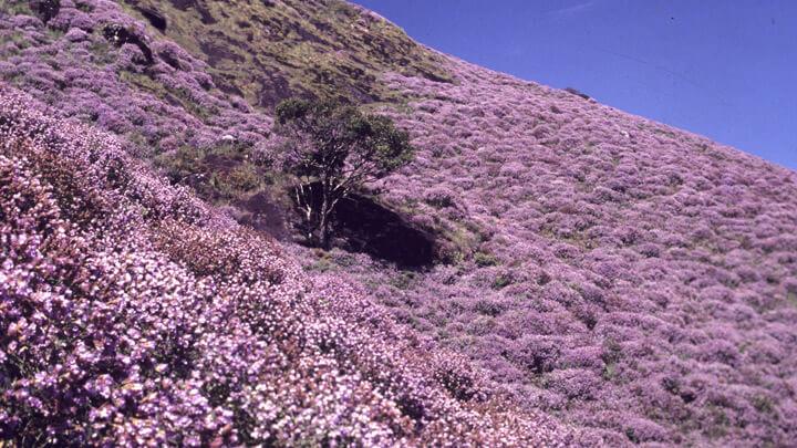 The rare bloom of Neelakurinji in Munnar