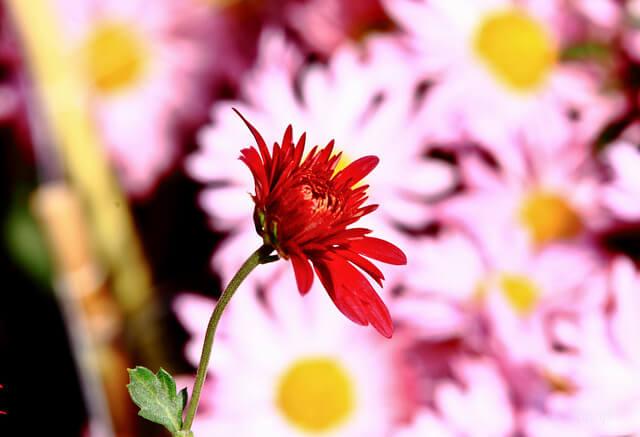 Chrysanthemums Show, Chandigarh