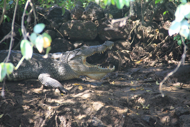 Goa – Crocodile spotting