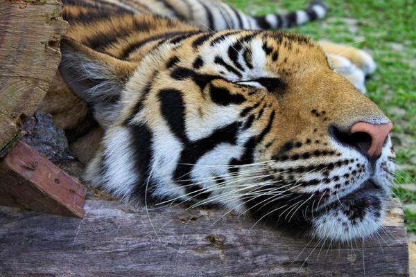 Tiger Kingdom in Phuket - Things To Do In Phuket