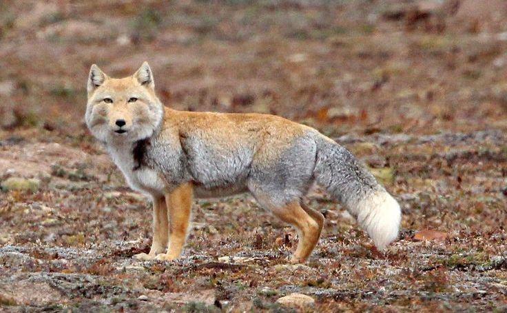Tibetan fox leh ladakh
