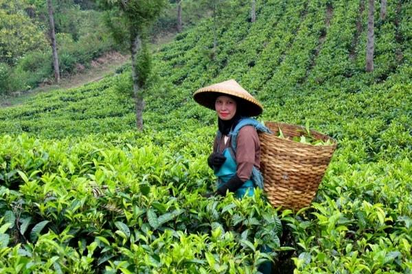 Tea-growing Region, North East India