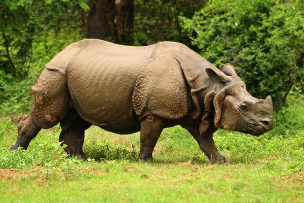 Rhinos, North East India