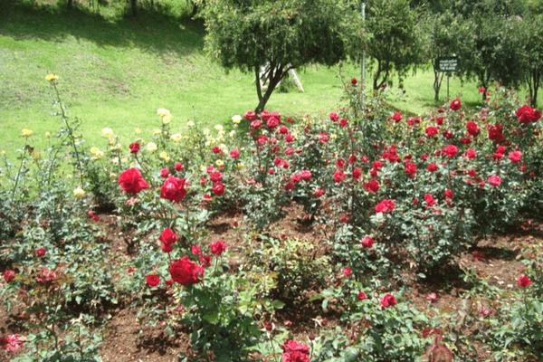 Ooty Rose Gardens