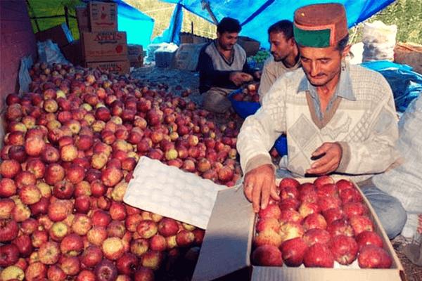 Apple in Himachal pradesh