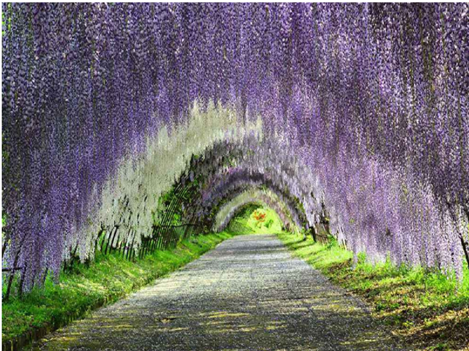 The Wisteria Flower Tunnel, Japan