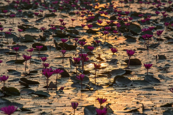 Red Lotus Sea - 100 Places To Visit In Thailand