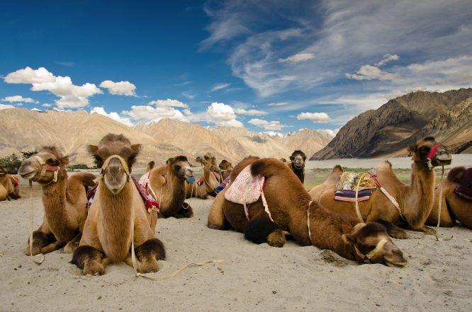 Camel Safari-things to do in Ladakh