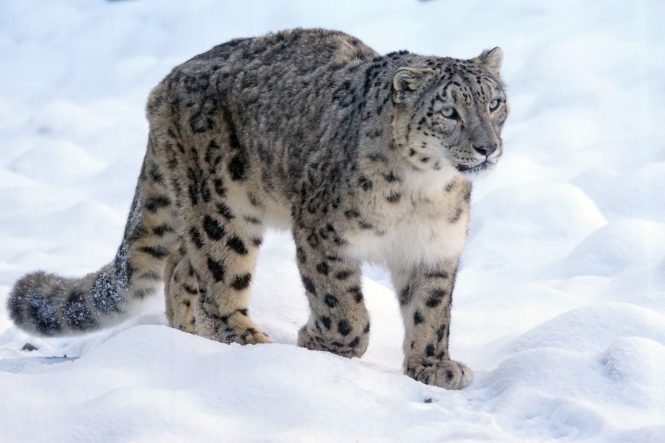 Spot a Snow Leopard-things to do in Ladakh