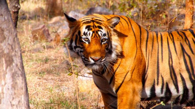 Ranthambore - Tiger - Places to Visit in India in December