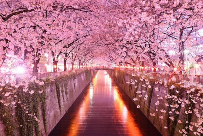 Cherry Blossom- Best Time To Visit Japan