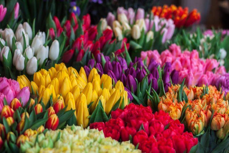 Kashmir Tulip Festival - Experience a Rainbow of Colours
