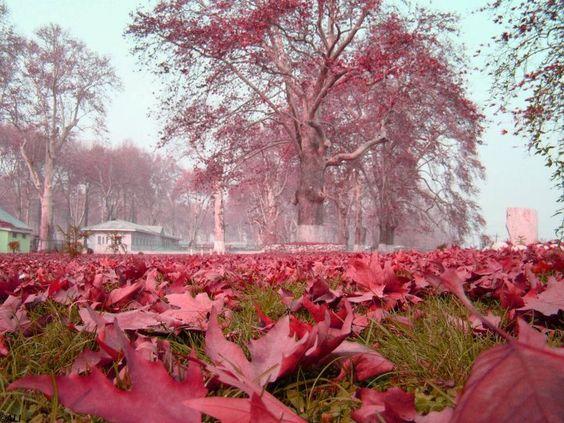 Pink Leaves - Kashmir Valley