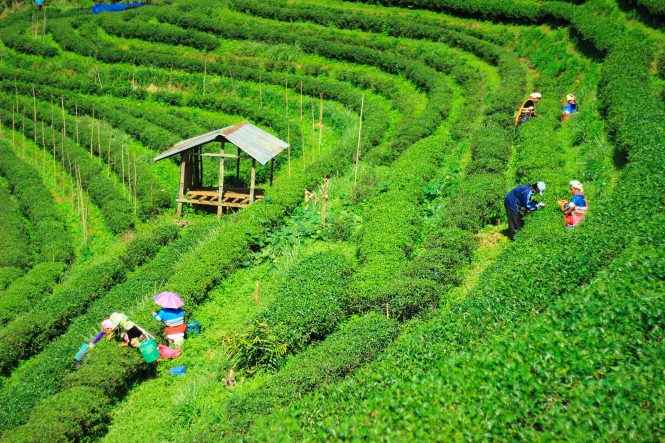 Assam Tea Gardens- Places to visit in North East