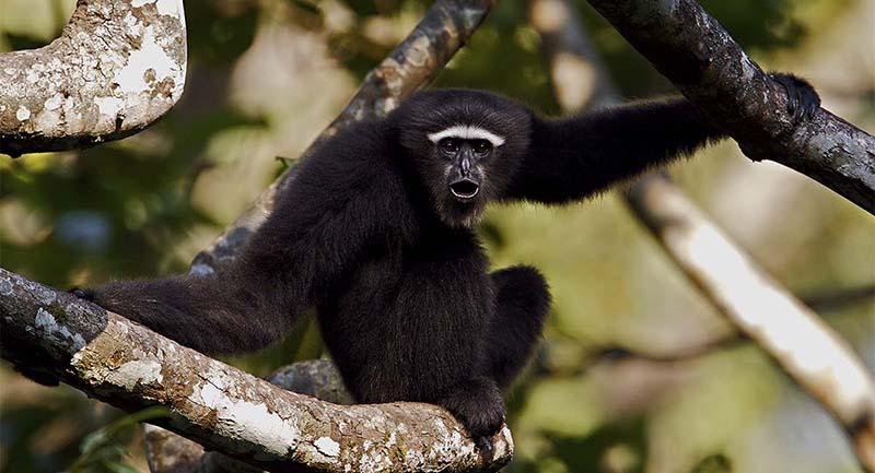 Hoollongapar Gibbon Sanctuary -Kaziranga National Park