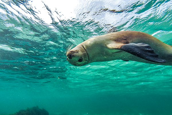 Sea Lion -Australian Wildlife
