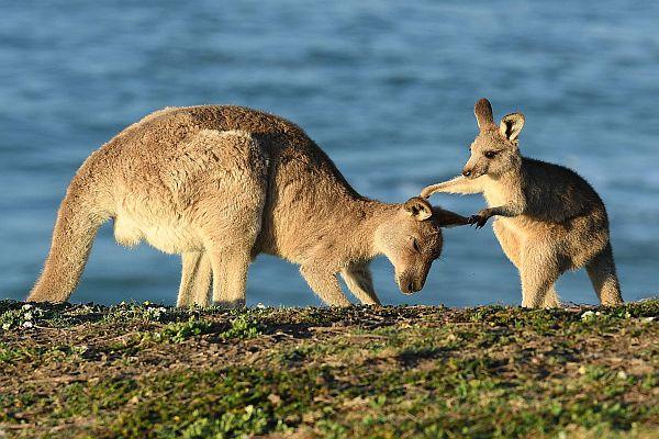 Kangaroo-Australian Wildlife